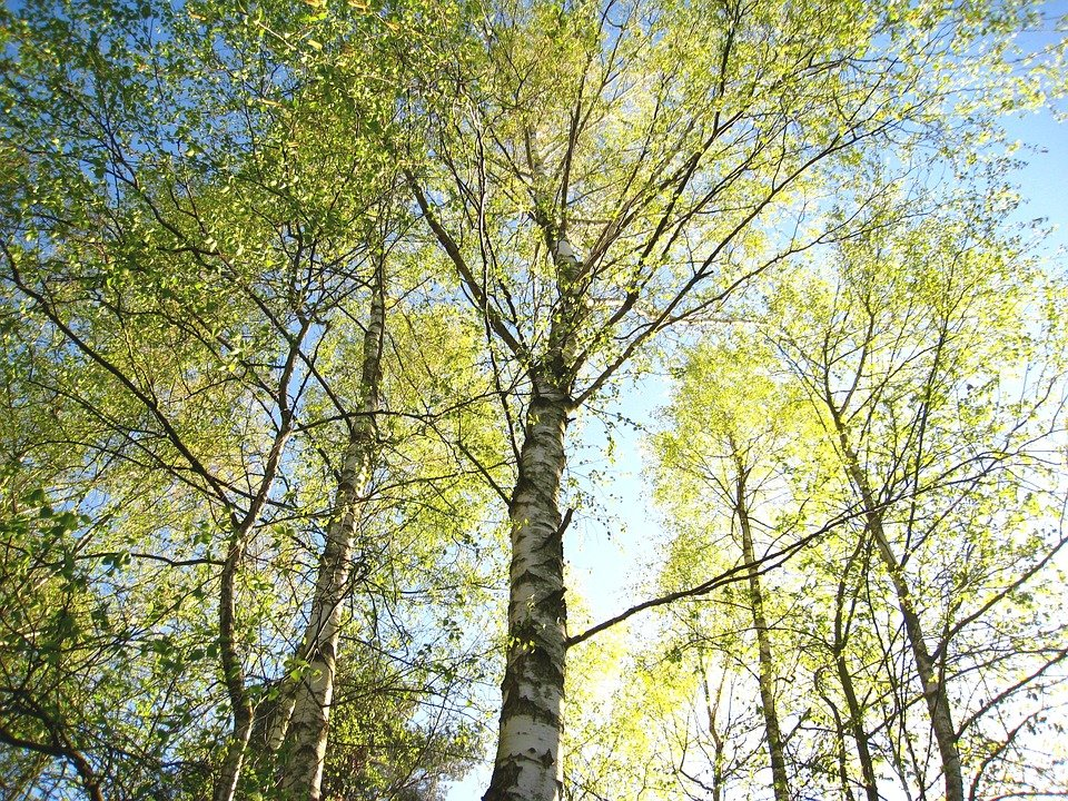 young-birches-1363116_960_720.jpg