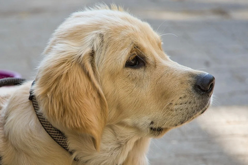 golden-retriever-5077570_960_720.jpg